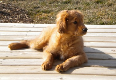Griffyn The Comfort Golden Gorgeous Boy Very