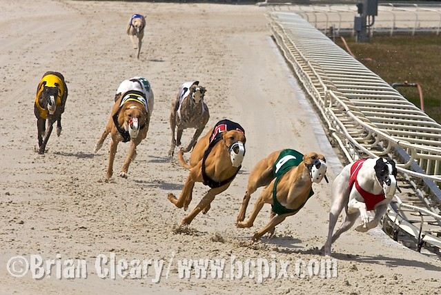 Daytona Dog Track >> Dog Racing Action Action From The Dog Races At Daytona Bea
