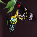 Birdwings in Love