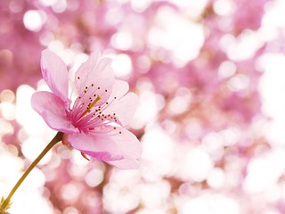 Cherry blossom with bokeh | by tanakawho