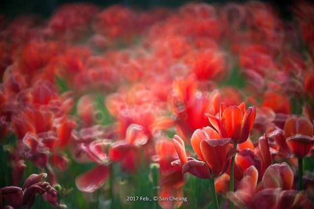 盛開的尾巴-鬱金香