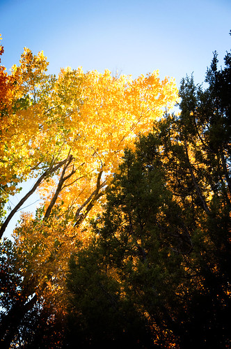 cottonwoods aglow | by xmasberry