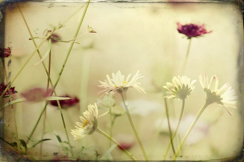 Daisies | by Tilly's photo stream