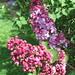 Syringa vulgaris 'Andre Csizik'