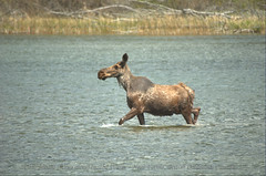 Moose (Alces alces) In The River | by Neil Young Photography (nyphotos.ca)