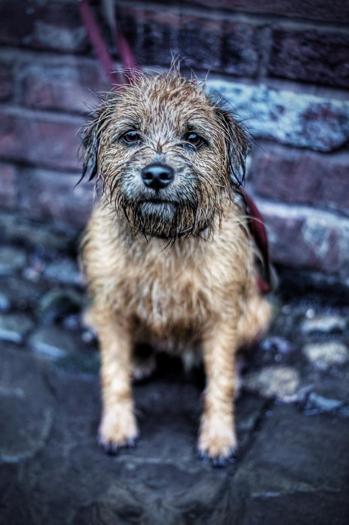 Border Terrier Dog Breeds