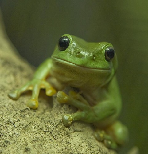 Green tree frog hanging out in backyard | This is a green ...