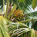 flowering coconut tree