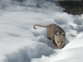 opossum | by boodely