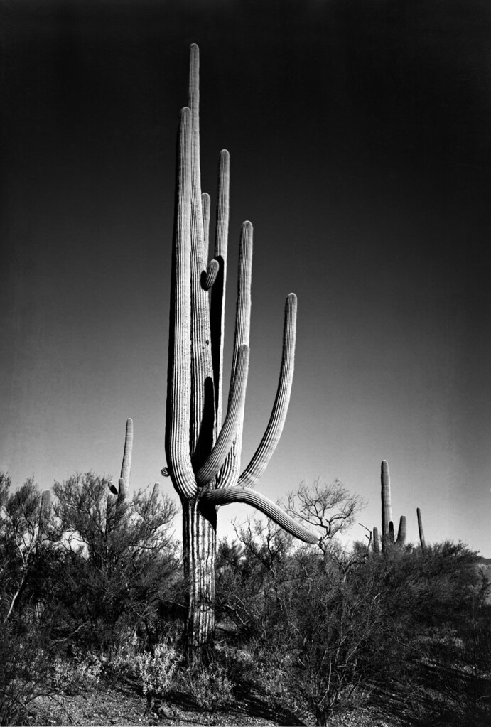 Ansel adams the mural project 1941 1942 in saguaro for Ansel adams the mural project