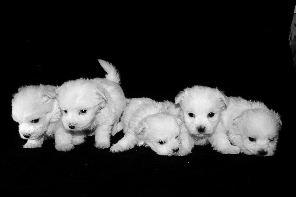 maltese puppies | cute maltese puppies www.gingersmaltese ...