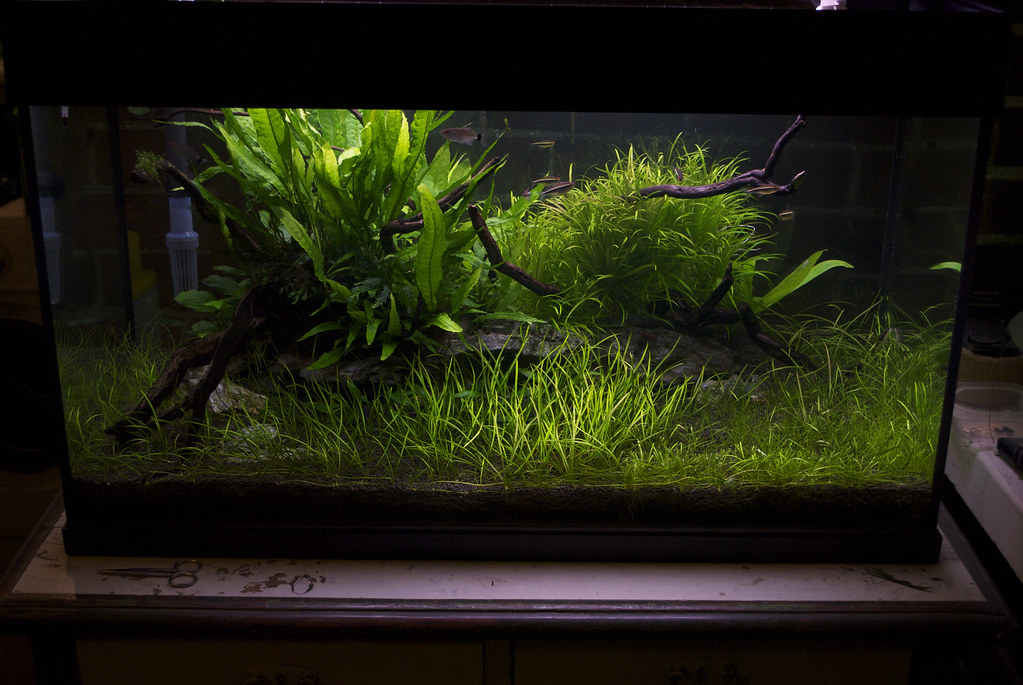 tank - test trim of Echinodorus tenellus and eleocharis acicularis