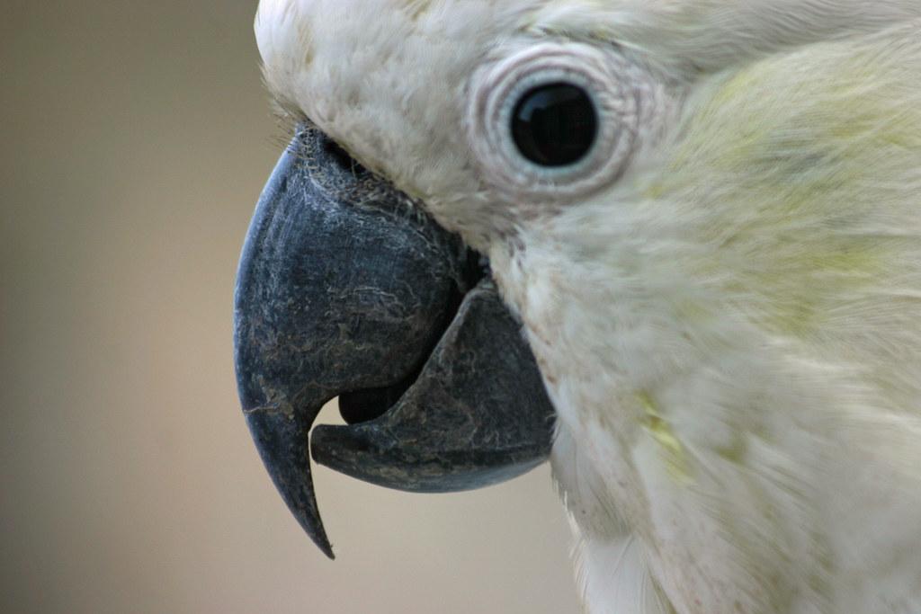 Cockatoo Beak