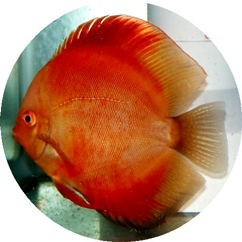 Red Virgin Discus Deep Coloration And Very Beautiful