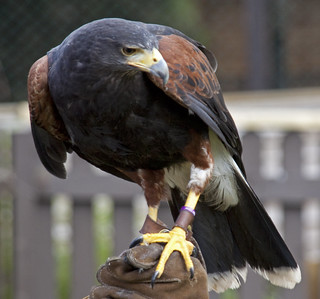 Harris Hawk 6 | by ahisgett