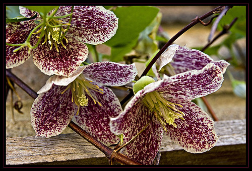 Winter Flowering Clematis - cirrhosa Freckles | by KTDEE....