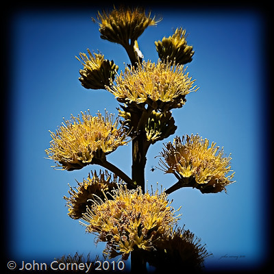Yellow Yucca Bloom Spectacular Yellow Flower Bloom Of