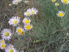 Thread-leaf Fleabane Daisy