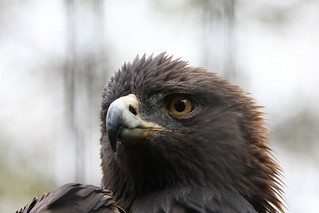 Golden Eagle | by Ed Durbin (Katodog)