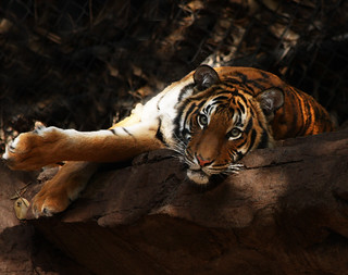 Malayan Tiger | by Rennett Stowe