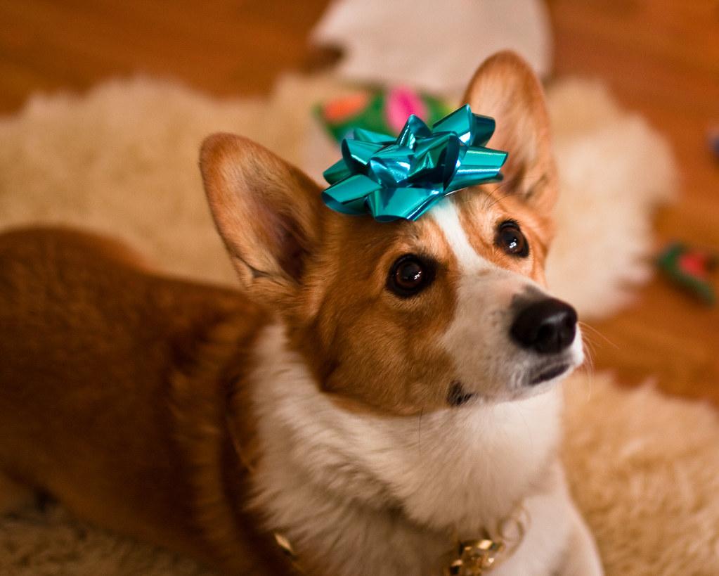 christmas corgi by chase hoffman christmas corgi by chase hoffman - Christmas Corgi