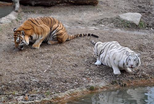 Tigers Eat Fish Tigers Eating Fish at The