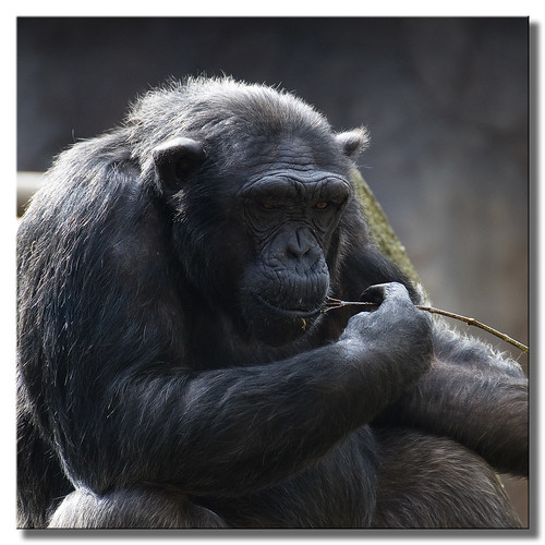 Thoughtful Chimp | by SallyT.
