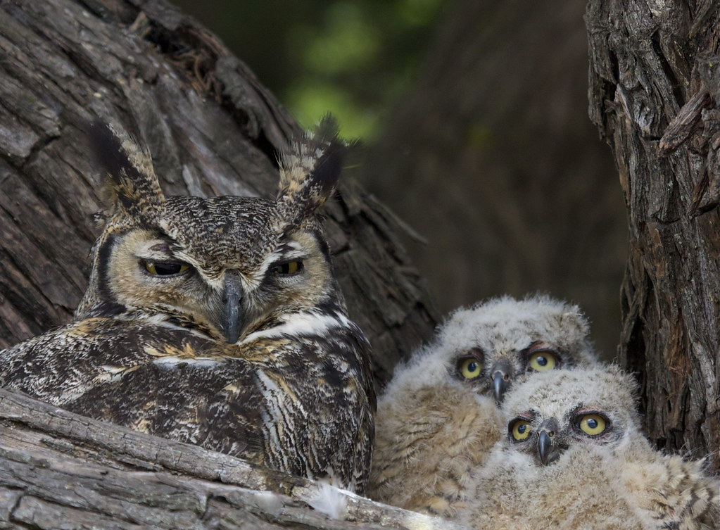 SLO Great Horned Owls | It all began here ~2 wks old in ...