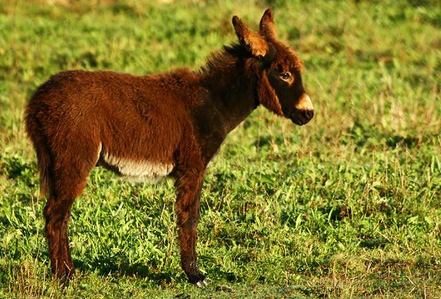 """´""""""""DOMINGO JOSÉ"""""""" el burro del mi vecin"""