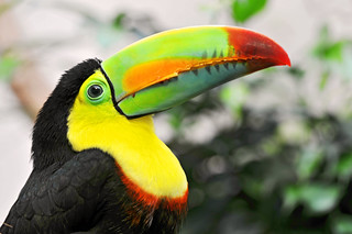 Keel-billed toucan | by Tambako the Jaguar