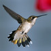 Hummingbird with Tail Fanned_CUS0507