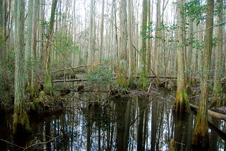 Swamp in Osceola National Forest | by ggallice