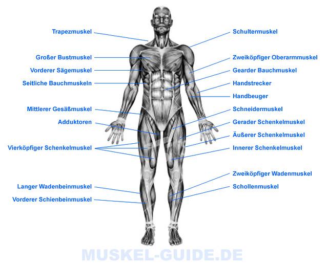 Anatomie und Muskulatur des Menschlichen Körpers (Front) | Flickr