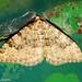 Borboleta Noturna // Moth (Nebula ibericata)