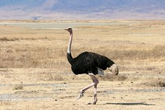 Ostrich walk | by @Doug88888