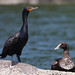 Double-crested Cormorant and young male Common Eider share a rock in Maine