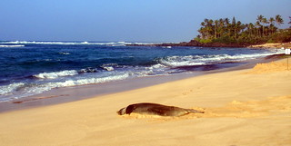 Laniakea Beach w/ Monk Seal Chillaxin' | by jongela19