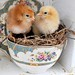 Baby Chicks Two