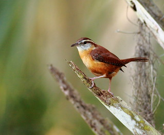 Carolina Wren / Day 73 | by p simmons