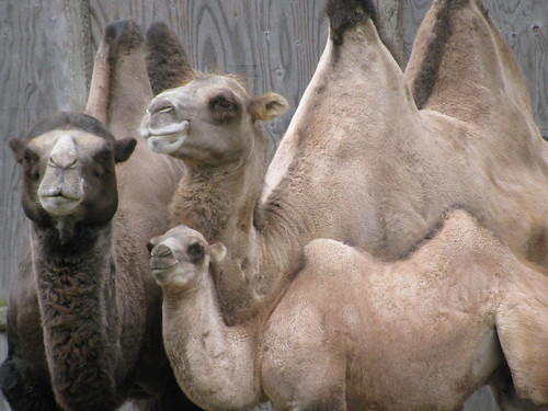 Bactrian Camel Family Photo | by Potter Park Zoo