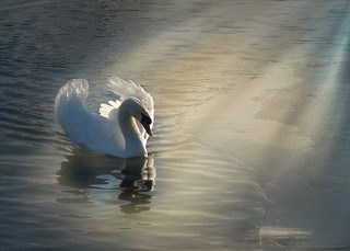 Swan Lake | by Lynda Murtha PhotoArt ~