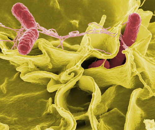 Salmonella typhimurium invading cultured human cells. | by Microbe World
