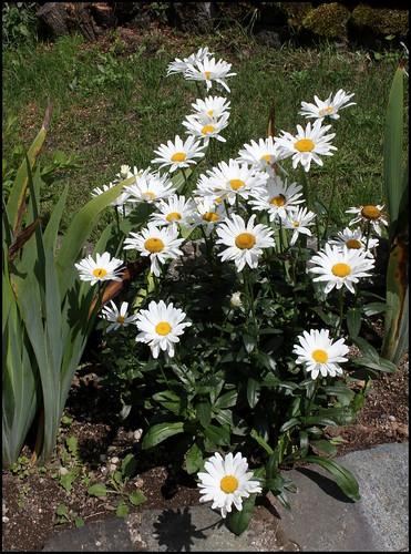 Leucanthemum x superbum  33066620205_af228ebd2e