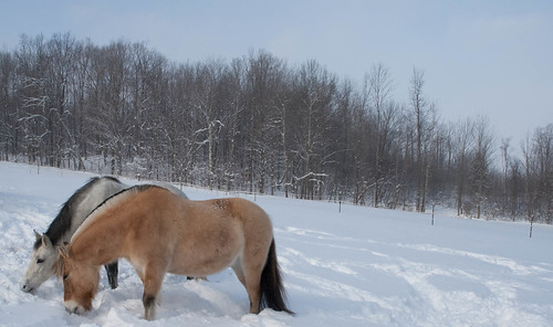 Horses Grazing In The Snow | by paul_houle