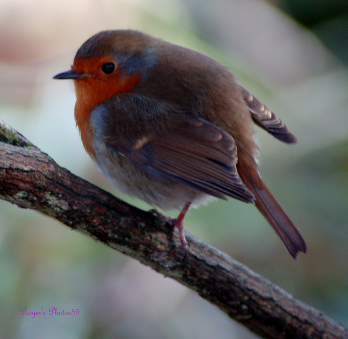 Robin | by Roger's Photos59