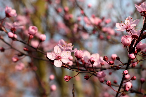plum tree blooms | by mathowie