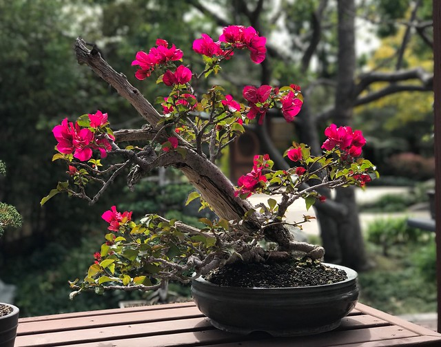 Bougainvillea bonsai.