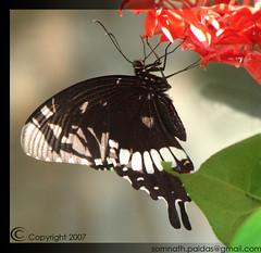 Common Mormon Butterfly on Rangon . Red Ixora coccinea  - 3.jpg