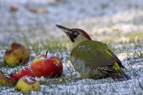 Green Woodpecker Sibland 30.1.2010 | by Margaret the Novice