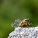 injured cicada
